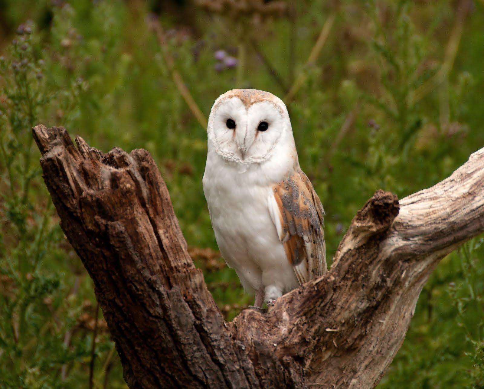 Anthony Miners Wildlife Photos: Barn Owl