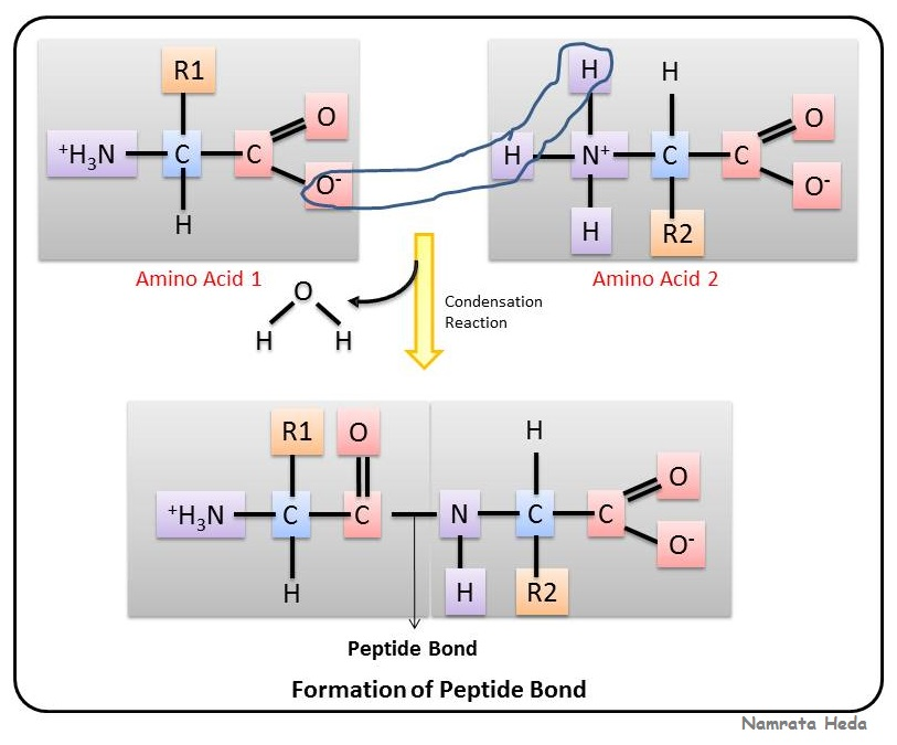 Formation of Peptide Bonds  UWMadison Chemistry