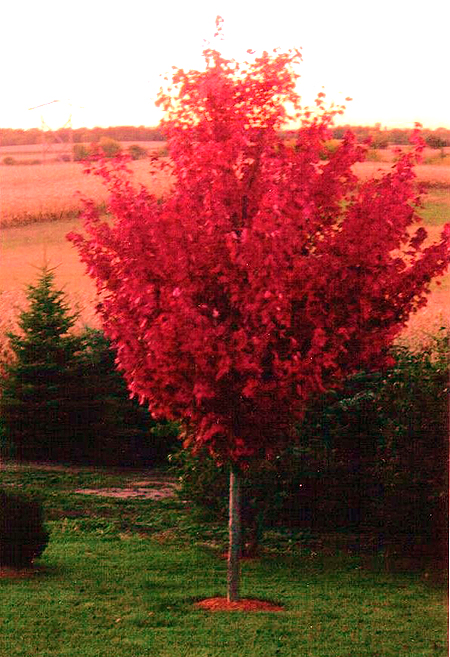 Autumn Blaze Maple Trees Autumn Crafts Picture