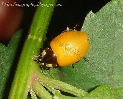 Newly Emerged Ladybug