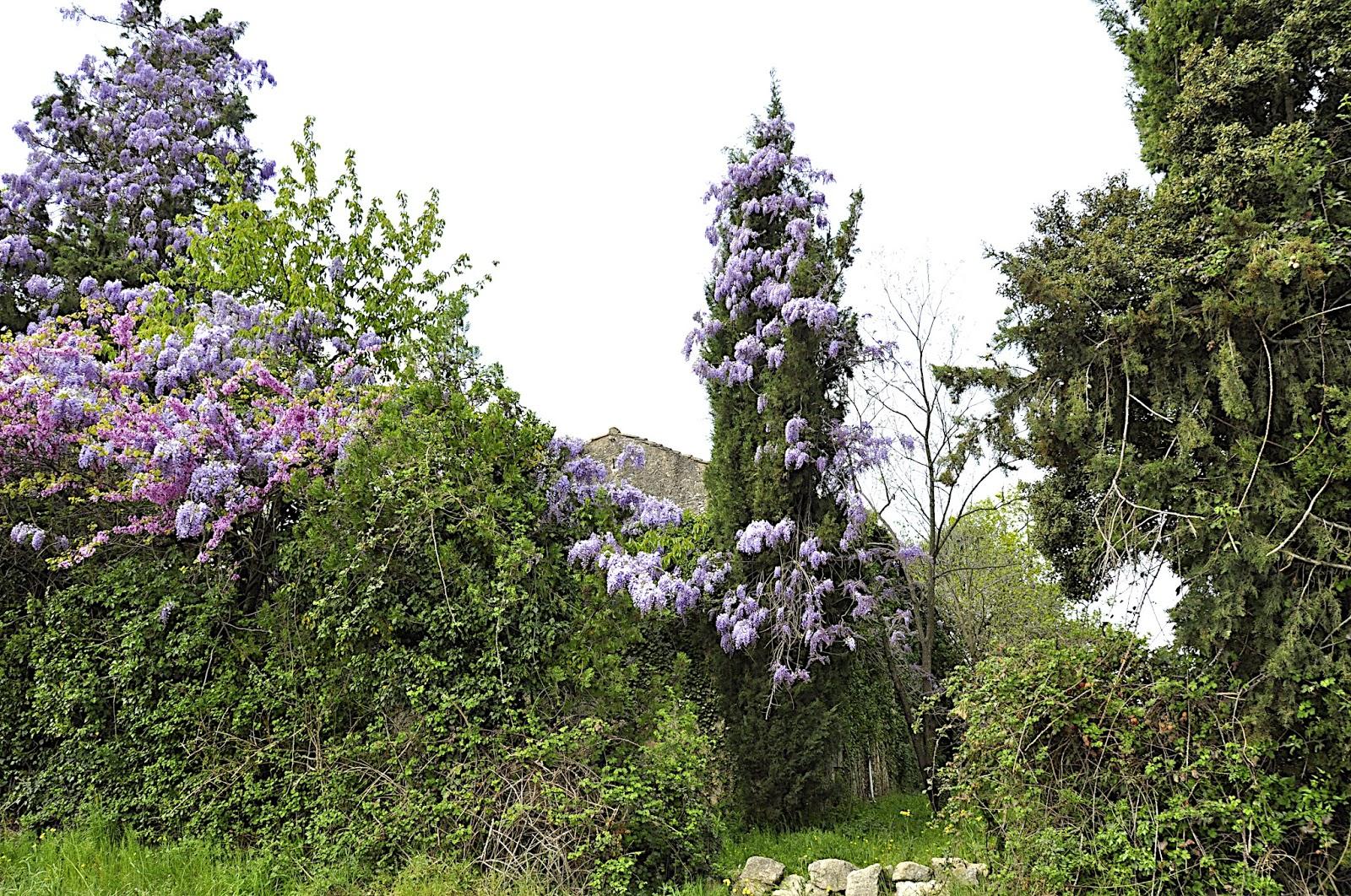 Manon 21 la provence en fleurs - Arbre provencal ...