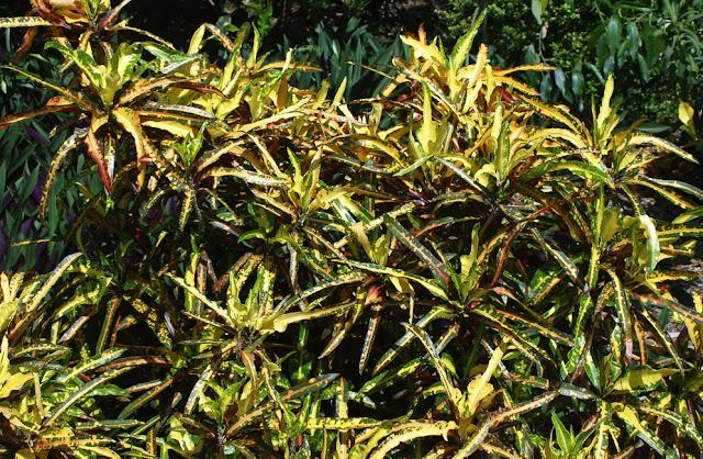 Комнатный цветок кодиеум кротон сорта фото уход в