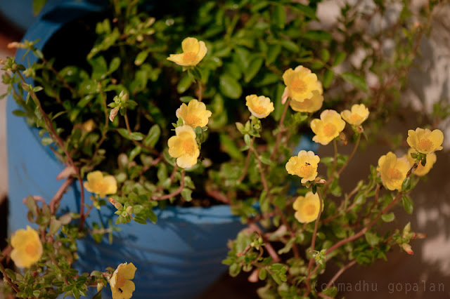 Yellow Portulacas