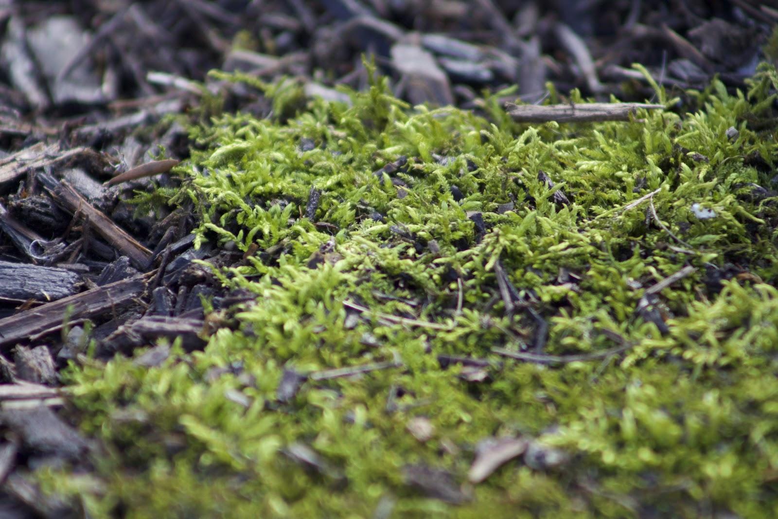 mat of Thuidium fern moss