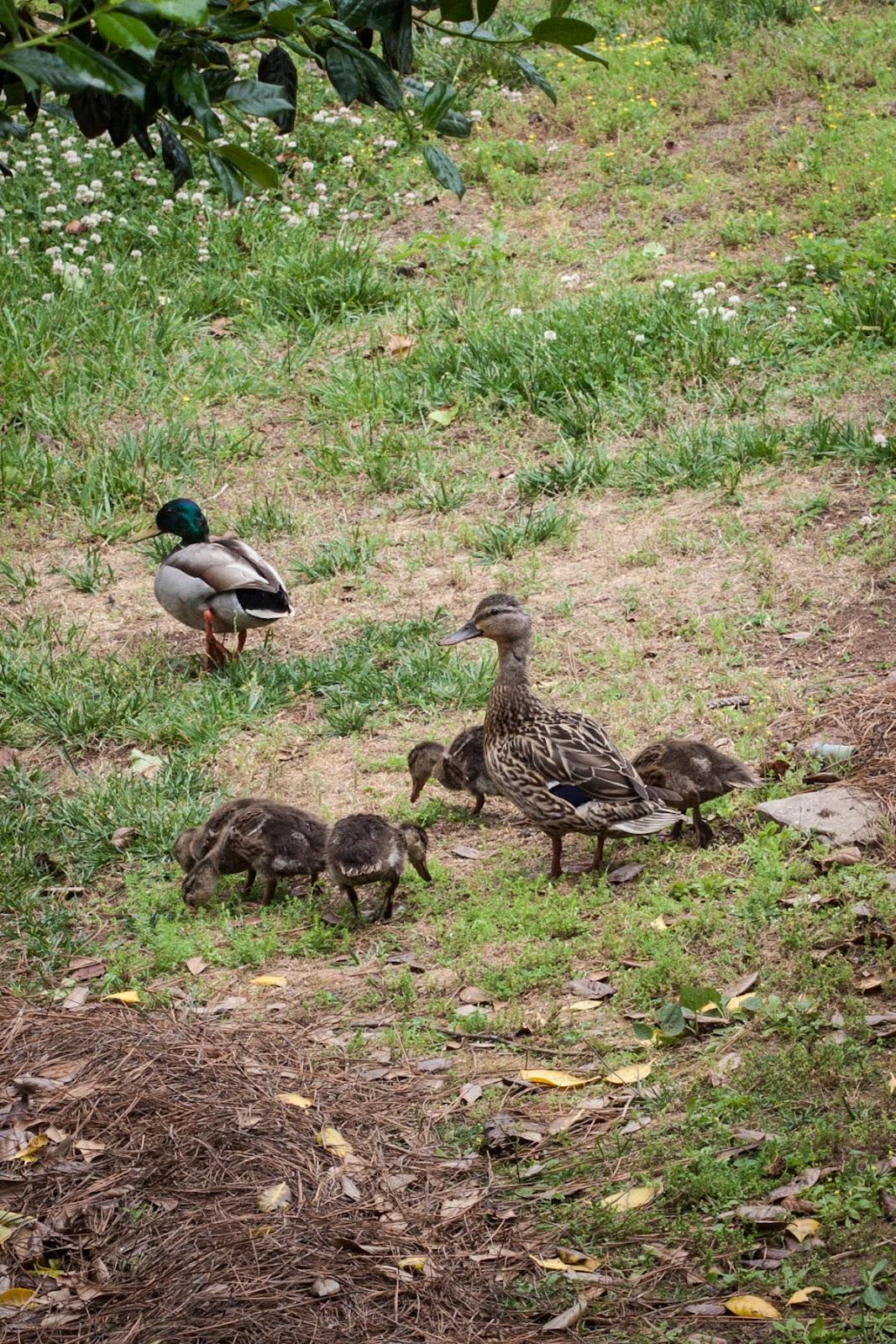 May 8 Ducks And Rain