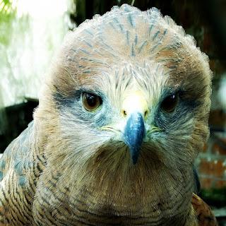 Gavião, Mini Zoológico de Aves, Santiago (RS)