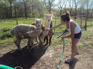 The Alpaca Girls With My Baby Girl