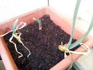 Les reprises d'oignons mises en terre dans un pot haut.