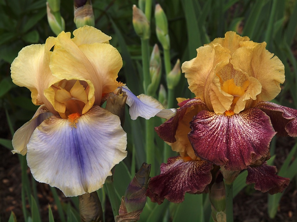 Iris good witches magickal flowers and herbs iris is the state flower of tennessee izmirmasajfo
