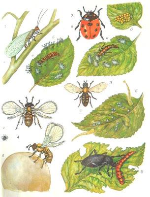 1 — златоглазка: а — взрослое насекомое, б — яйца, в — личинка, уничтожающая тлей; 2 — семиточечная божья коровка: а — взрослое насекомое, б - кладка яиц, в — личинка, уничтожающая тлей; 3 — муха-журчалка: а — взрослое насекомое, б — личинки, уничтожающие тлей; 4 — трихограмма: а — взрослое насекомое, б — самка, откладывающая яйцо в яйцо бабочки; 5 — жужелица, поедающая гусеницу