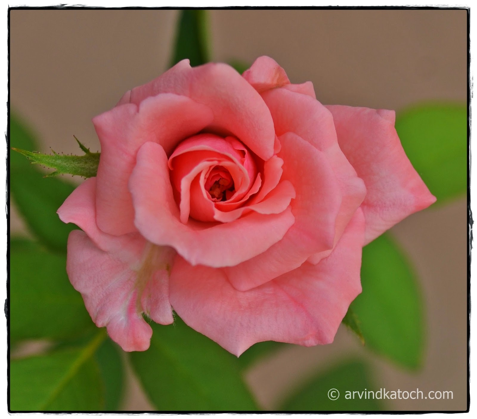 Pink, Rose, Bud, Flower, Journey