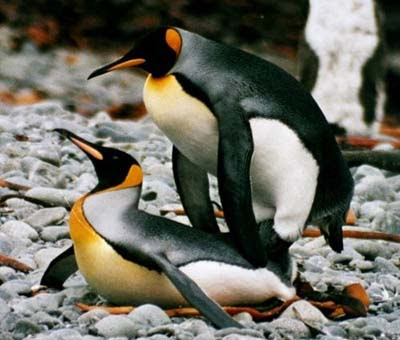 penguin make love