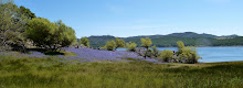 The Lupine Fields of Folsom Lake