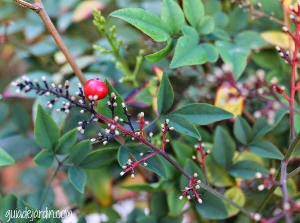 Nandina doméstica, flores y frutos