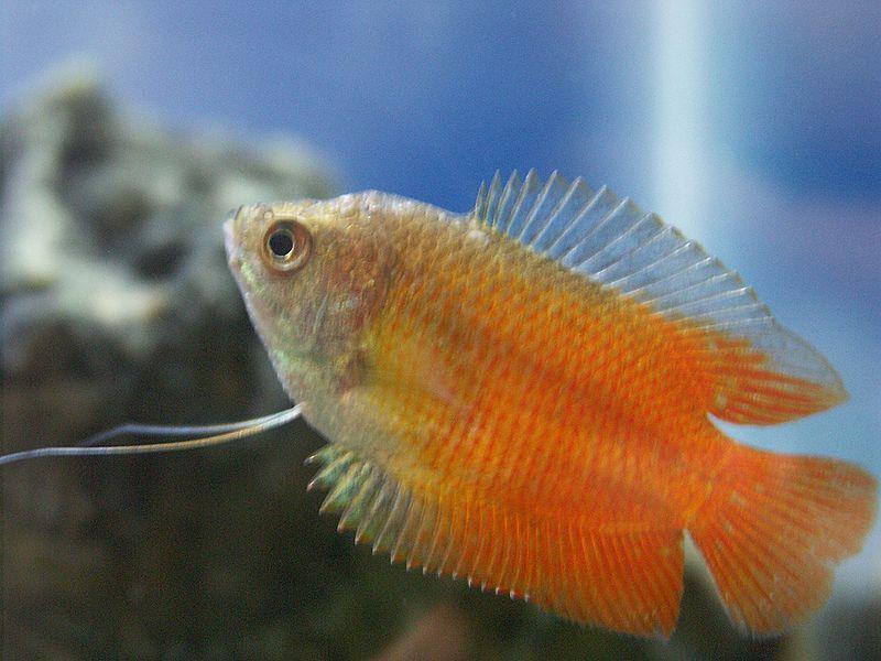 Fish Pictures Dwarf Gourami Colisa Lalia