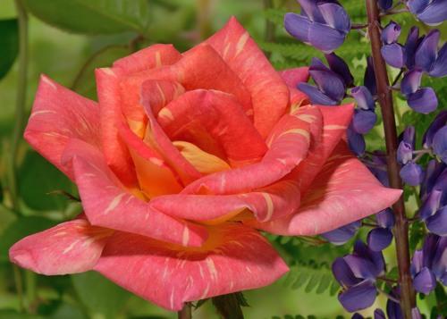 Caribia rose сорт розы фото
