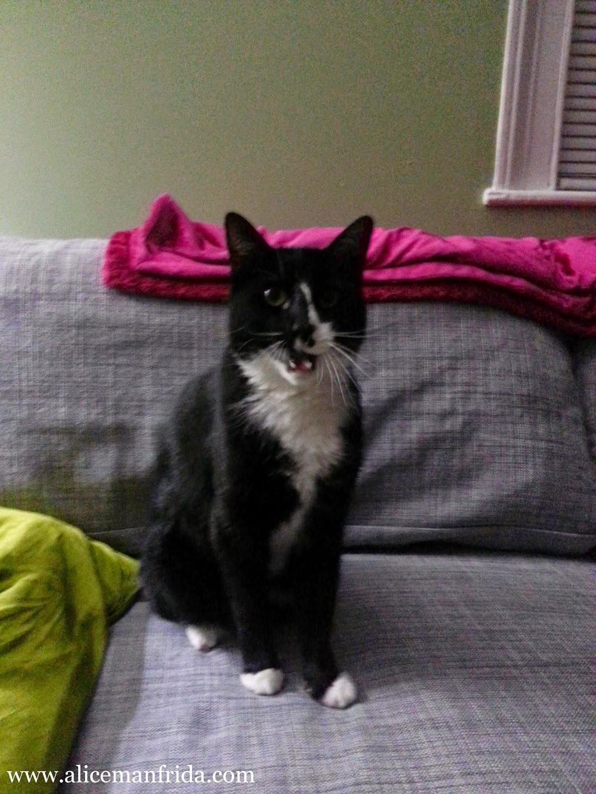 StellaKitty, www.alicemanfrida.com, tuxedo cat, cat, black and white cat