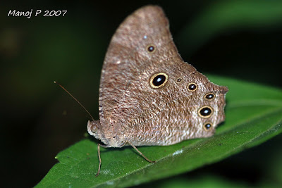 Common Evening Brown Butterfly