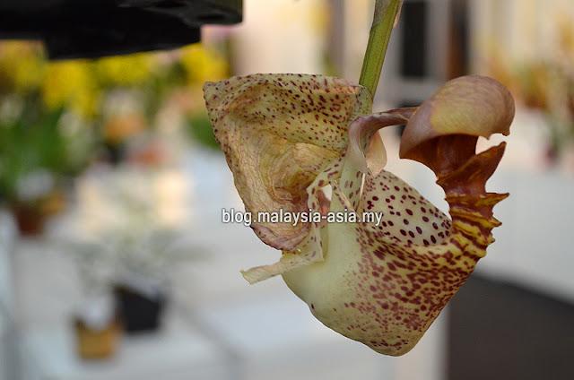 Strange Rare Orchids in Malaysia