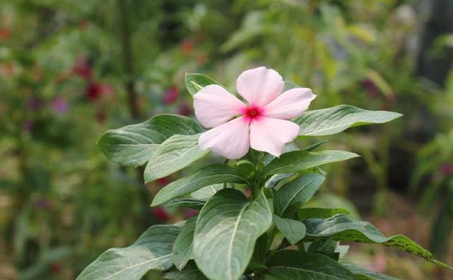 Vinca Flowers Pictures
