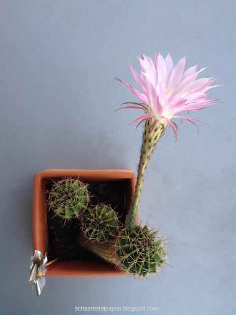 schaeresteipapier kaktus bl te in der nacht. Black Bedroom Furniture Sets. Home Design Ideas