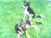 Flia canina
