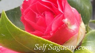 Pink Japanses Camellia Flowering budd