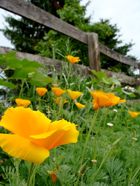 photo by ChatterBlossom of yellow California Poppy garden