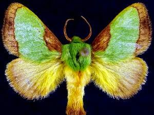Image of an adult Stinging Rose Moth