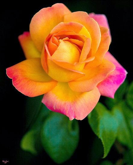 Flowers gardens a beautiful arundel rose by chris lord - Beautiful rose flower garden ...