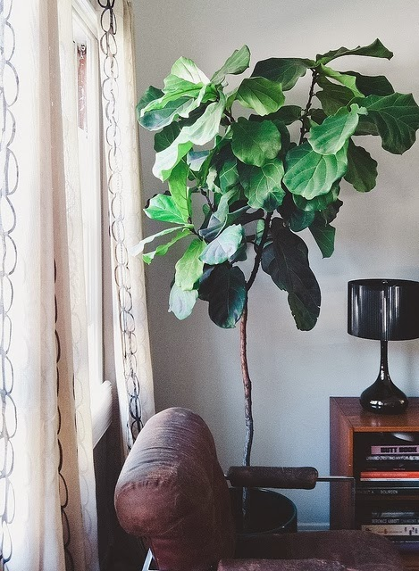 Moon to moon house plants the fiddle leaf fig tree for Grande plante interieur