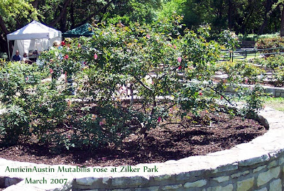 Annieinaustin, Mutabilis rose at Zilker