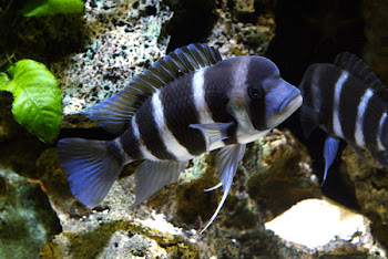 Satılık Frantoza Balığı