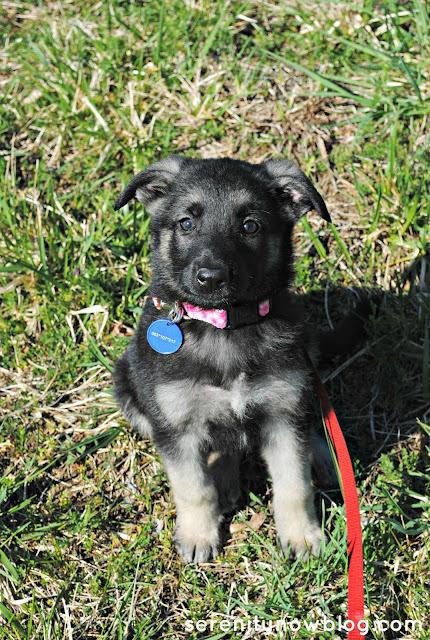 German Shepherd Puppy, from Serenity Now
