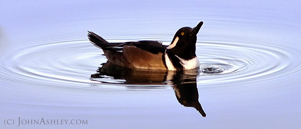 male Hooded Merganser (c) John Ashley