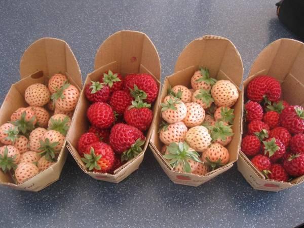 تعرف علي الفاكهة الجديدة الأناناس