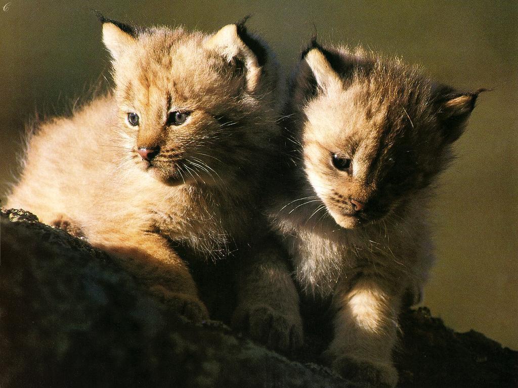 Cute Cub Brothers    Top Wallpapers Download .blogspot.com