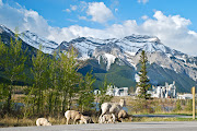 Rocky Mountain Sheep near Exshaw in Banff National Park (banff goats )