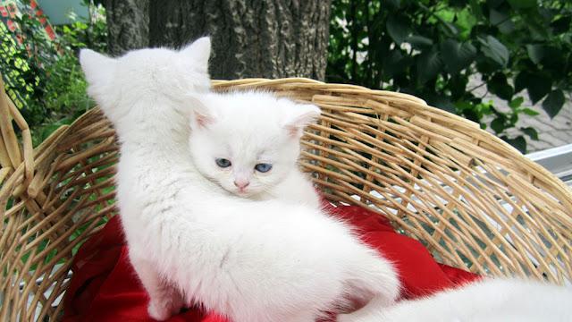 Турецкий ван Ванская кошка