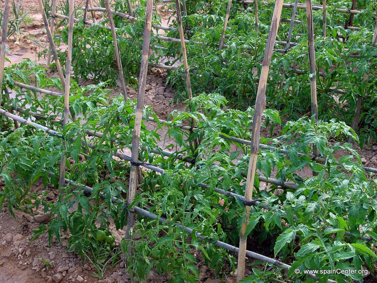 planta de tomates con soporte de bambu el derecho de autor de la foto pertenece a