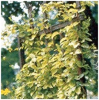 Vines, creepers and climbing plants to fill the walls in your garden