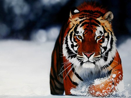 http://4.bp.blogspot.com/-TxdVMAXgLjg/ToheMYDbisI/AAAAAAAAAOU/_1RSq0WoldI/s1600/Royal-Bengal-Tiger-Background-Photos11.jpg