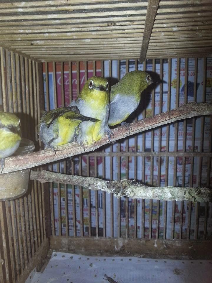 gambar hewan - foto burung pleci