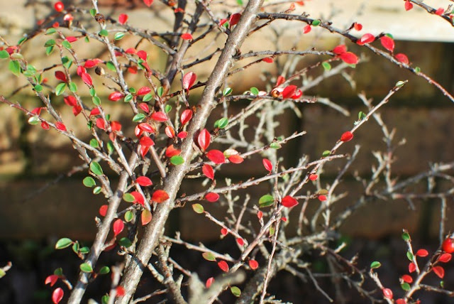 picture of red Cotoneaster leaves