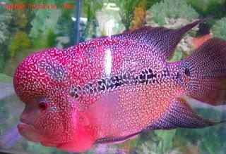 75 Jenis Ikan Louhan Terbaik dan Termahal