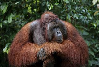 Fire Engulfs Orangutan Conservation Site in East Kalimantan