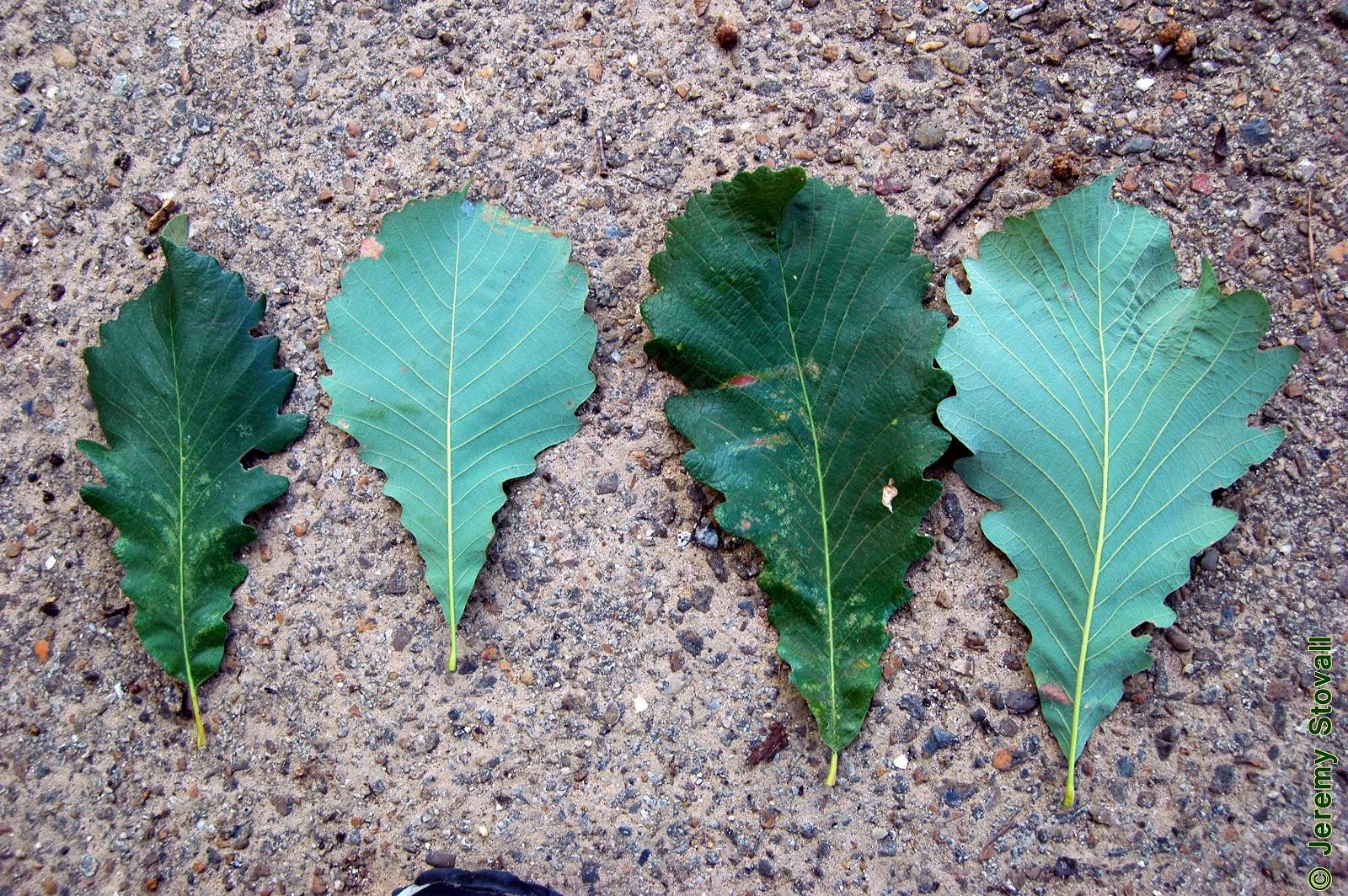 Quercus Laurifolia Leaf Arboriculture 3220: Ta...