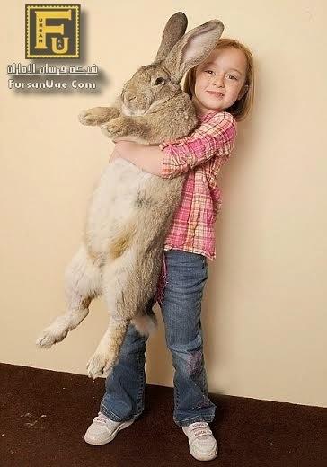 أكبر أرنب في العالم يدخل (جينيس) للأرقام القياسية بوزن 22 كيلو جرام !