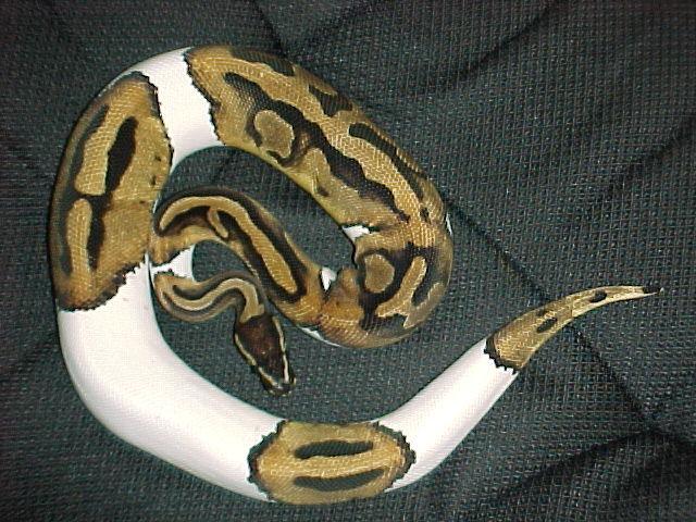 Snakes: Pet Ball Python