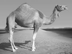 Are you one of these... a spiritual camel?